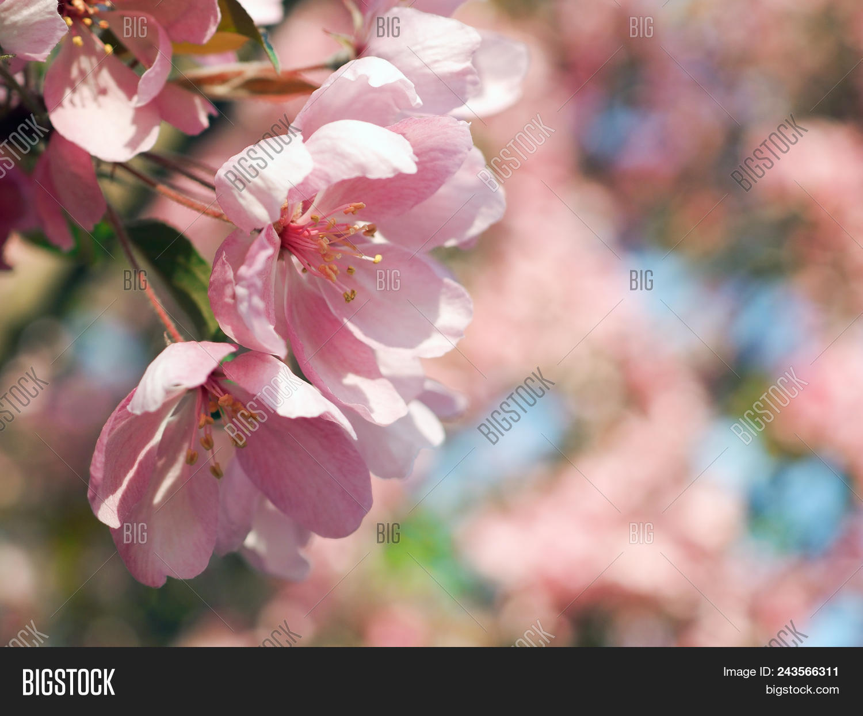Beautiful Rare Pink Image Photo Free Trial Bigstock