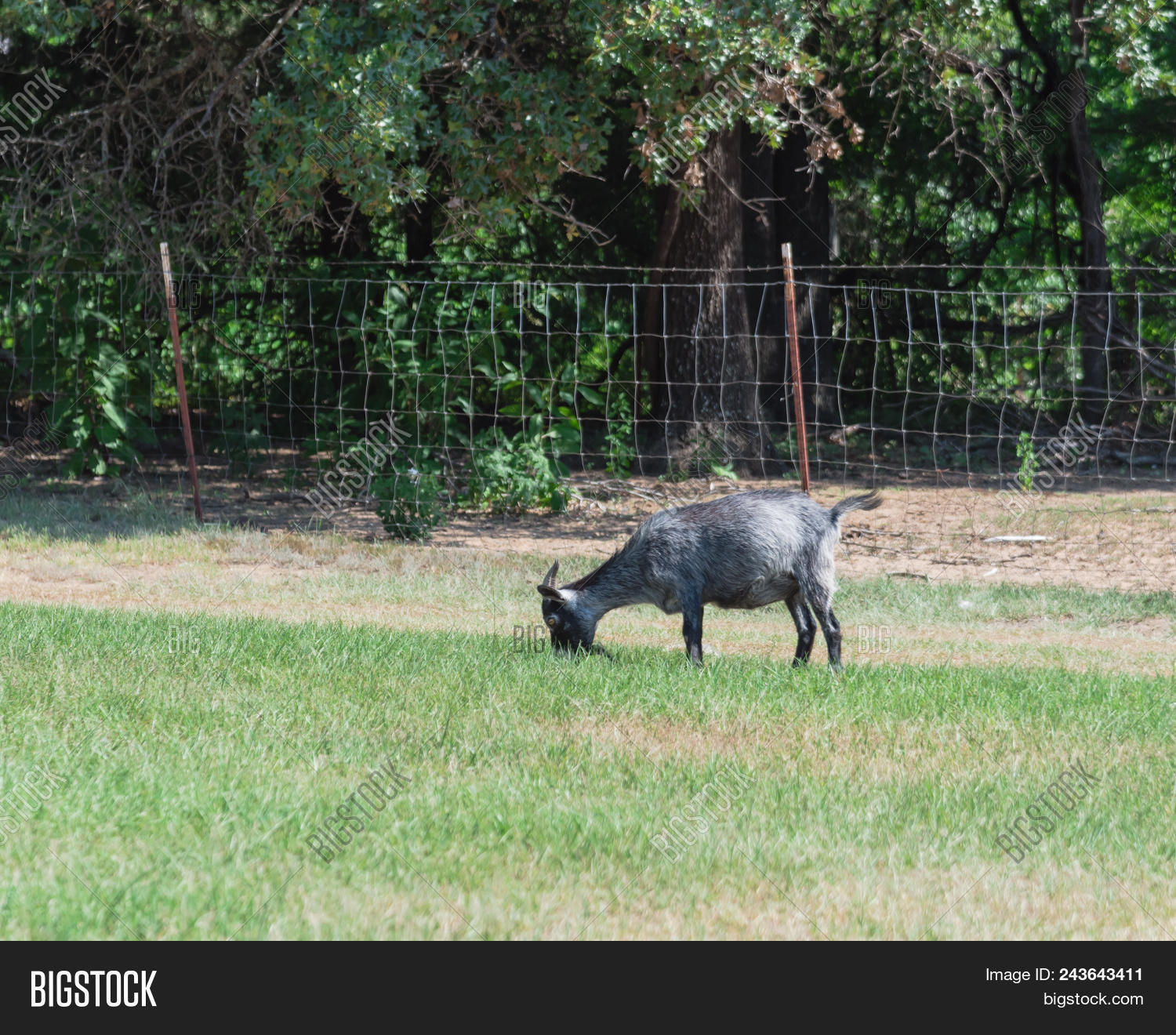 Goat Grazing Grass Image & Photo (Free Trial) | Bigstock