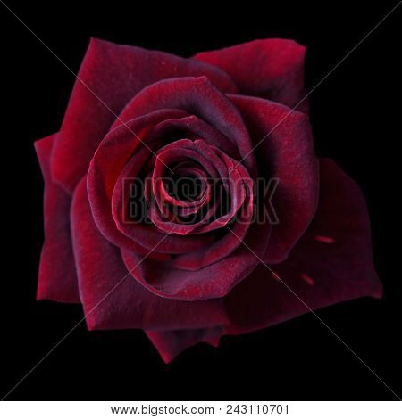 Dark Red Roses Background, Red Rose Isolated On Black Background, Greeting Card With A Luxury Roses,