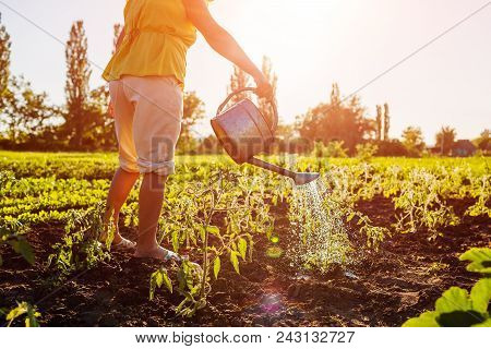 Farmer Watering Tomato Seedlings From A Watering Can At Sunset In Countryside. Agriculture And Farmi