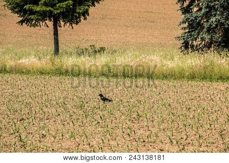 Lonely Black Crow On The Brown Field