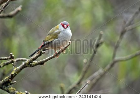 The Red Browed Finch Is Resting On A Twig