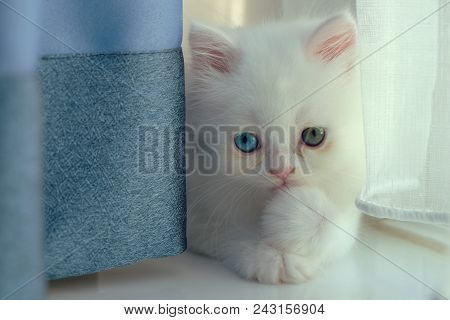 Adorable Pure White With Odd Different Blue And Green Eyes Persian Cat Looking At The Camera And Pos