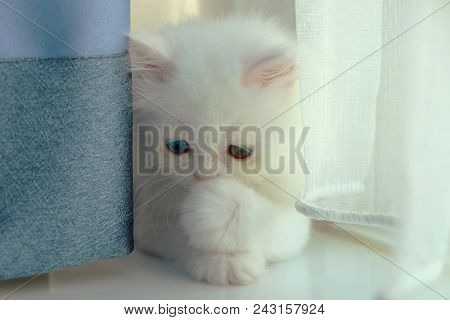 Adorable Pure White With Odd Different Blue And Green Eyes Persian Cat Hiding Eyes From Camera And P