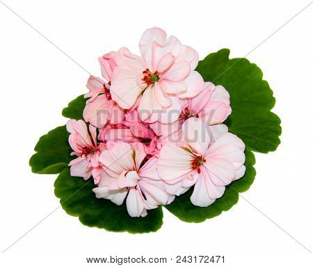Pink Flowers Of A Geranium With Green Leaves On White Background