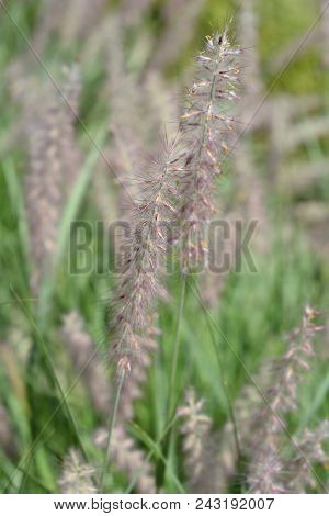 Close Up Of Oriental Fountain Grass - Latin Name - Pennisetum Orientale