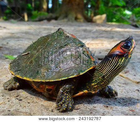 Firmly Walking Spur-thighed Tortoise Or Greek Tortoise (testudo Graeca) On Gravel And Vegetation. Th