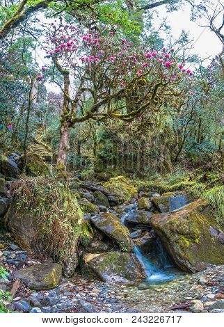 Flowering Rhododendron Tree At The Creek.