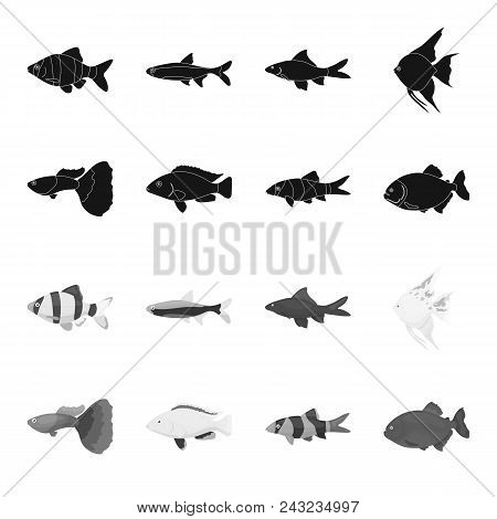 Botia, Clown, Piranha, Cichlid, Hummingbird, Guppy, Fish Set Collection Icons In Black, Monochrome S