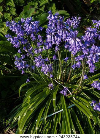 Plastic Pollution A Plastic Straws Polluting The Environment Of Spring Bluebells
