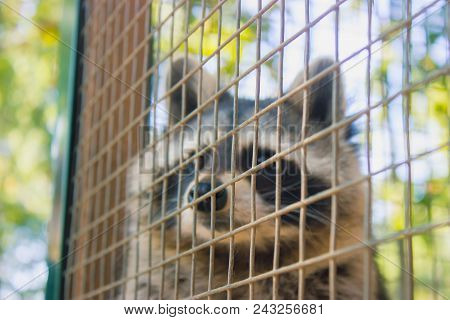 Racoon In The Morning Zoo