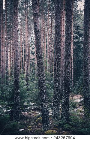 Mixed Greenwood Forest. Photo Depicting Dark Misty Evergreen Pine Tree Backwoods.