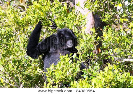 Male White-Cheeked Gibbon sitting in Tree - Hylobates leucogenys poster