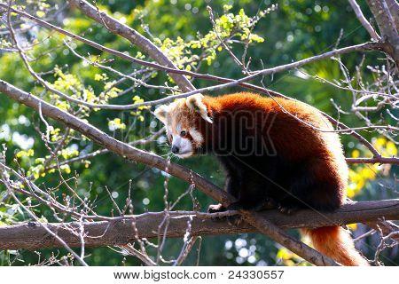 Red Panda Sitting In Tree - Ailurus Fulgens