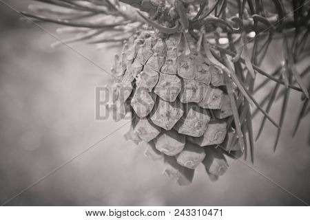 A Bright Evergreen Pine Three With Pine Cone On The Branch. Fir-tree, Conifer, Spruce Close Up, Blur