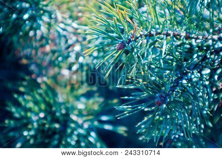 A Bright Evergreen Pine Tree Green Needles Branches. Fir-tree, Conifer, Spruce Close Up, Blurred Bac