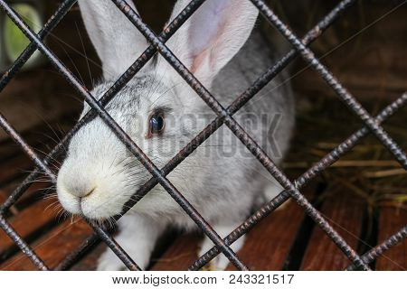 Domestic Rabbit Close-up In Cage At Animal Farm. Lonely Animal In A Cage
