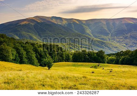 Cattle Of Cow Grazing At The Foot Of Apetska Mountain. Wide Grassy Meadow On Hillside Surrounded Wit