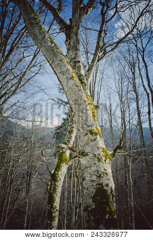 Photo Depicting Misty Old Bruncy Leafless Scary Tree In A Forest.