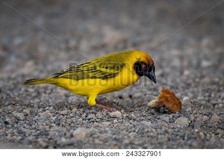 Masked Weaver Bird And Crust On Gravel