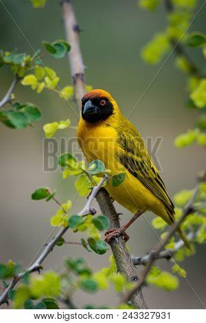 Masked Weaver Bird On Branch Turning Head
