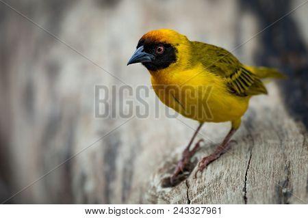 Masked Weaver Bird Perched On Dead Log