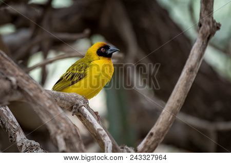 Masked Weaver Bird Perched On Dry Branch