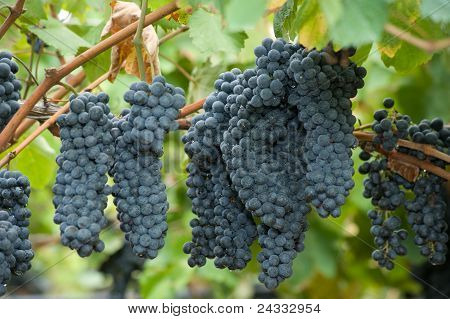 Lambrusco ripened grapes hanging in a vineyard in Italy poster