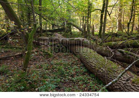 Old Oak Trees Broken Lying
