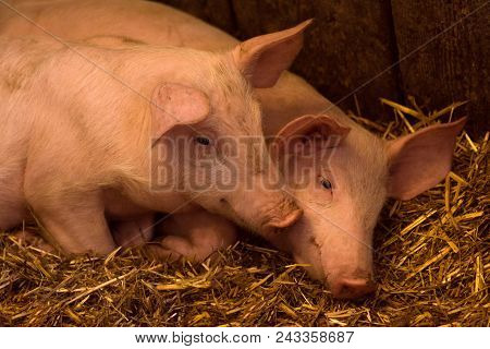 Two Young Pigs Are In Sty On Hay, Pig Breeding Swine Breeding Concept.