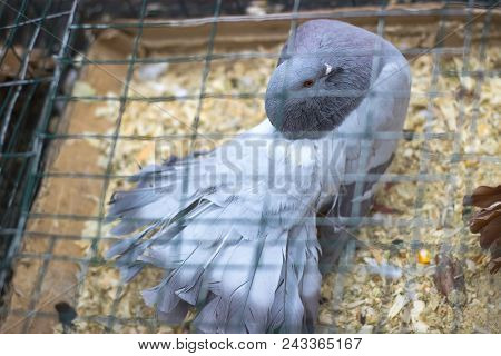 Carrier Pigeon. Cute Bird At Cage. Natural Background
