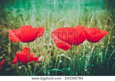 Beautiful Poppy Flowers On The Meadow, Mountain Nature, Summertime. Photo Depicts Red Poppies, Color
