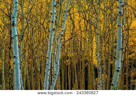 Golden Delight: Aspen Trees With Orange Leaves During Fall In Gunnison Nation Forrest, Colorado