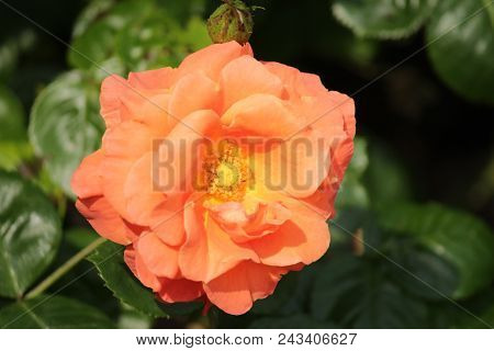 Rose Type Named Beverly In Close-up Isolated From A Rosarium In Boskoop The Netherlands