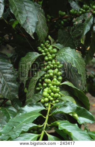 Unripe Coffee Berries