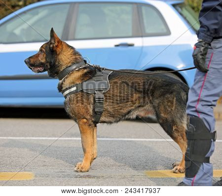Dog Canine Unit of the police with cop to the detection of explosive material during a counterterrorism operation poster