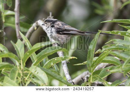 Long Tailed Tit Bird On Tree