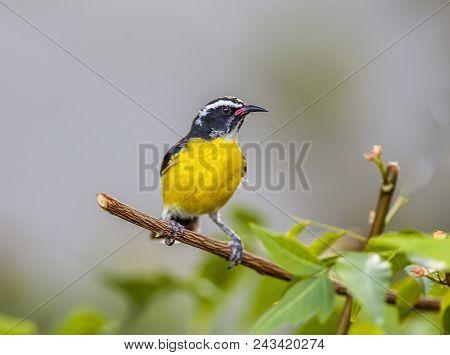 Bananaquit,coereba Flaveola Is A Species Of Passerine Bird