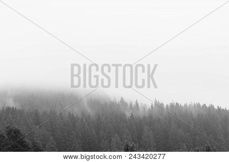 Monochrome Image Of Pine Woods After A Heavy Rainstorm In Transylvania, Romania.