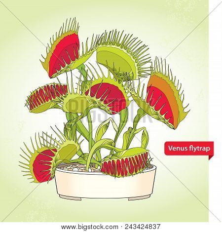 Vector drawing of Venus Flytrap or Dionaea muscipula in the round flowerpot on the light green background. Carnivorous plant Venus flytrap in contour for botany design. poster
