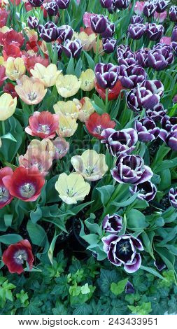 This Is An Image Taken Of A Tulip Garden