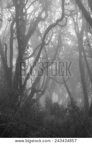 Rhododendrons On A Fogy Spring Day. Scene On The Way From Ghandruck To Tadapani, Nepal. Mystic Atmos