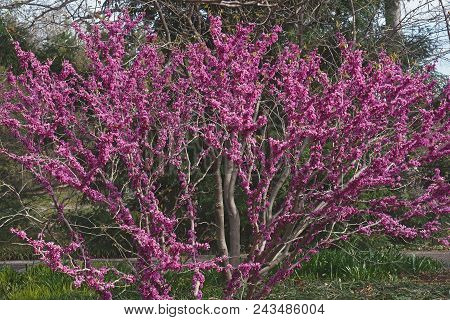 Don Egolf Chinese Redbud In Blossom.