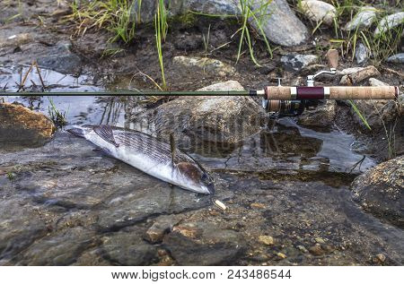 Fishing. Grayling Fish In Water And Spinning Tackle On River Stones