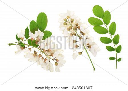 Blossoming Acacia With Leafs Isolated On White Background, Black Locust, Acacia Flowers, Robinia Pse
