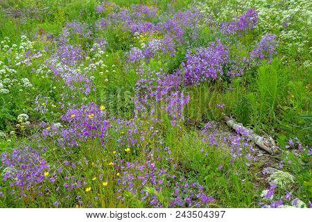 Beautiful Summer Landscape With Blooming Meadow Flowers. Wild Flowers.beautiful Wild Bell-purple Bel