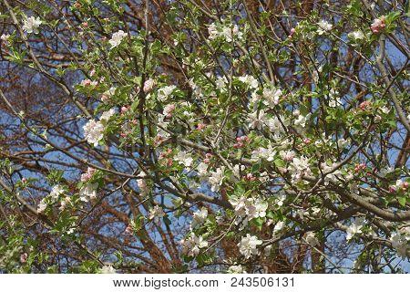 Roxbury Russet Apple Tree In Blosssom.