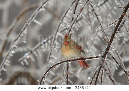 Female Cardinal In Ice