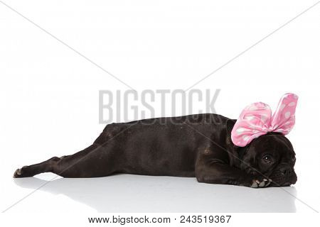 side view of lying french bulldog with pink ribbon on head, looking to side on white background