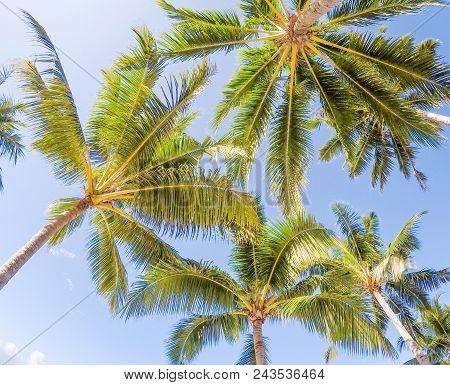 Looking Up Through Golden Sunshine Into Coconut Palm Trees Against A Blue Sky. Tropical Photo Taken
